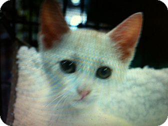 Domestic Shorthair Kitten for adoption in Santa Monica, California - Tate
