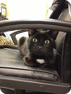 Domestic Shorthair Cat for adoption in Chicago, Illinois - Sampson