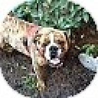 English Bulldog Dog for adoption in conyers, Georgia - Meatball