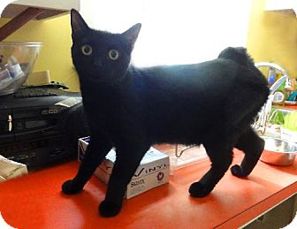 Manx Cat for adoption in Devon, Pennsylvania - Stormy