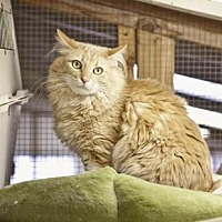 Domestic Mediumhair Cat for adoption in Midway City, California - Neko