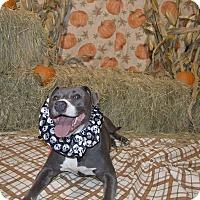 Adopt A Pet :: Atlas - Lima, OH