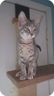 Domestic Shorthair Kitten for adoption in Brightwaters,, New York - Daniel