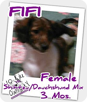 Shih Tzu/Dachshund Mix Puppy for adoption in Lancaster, Kentucky - FIFI