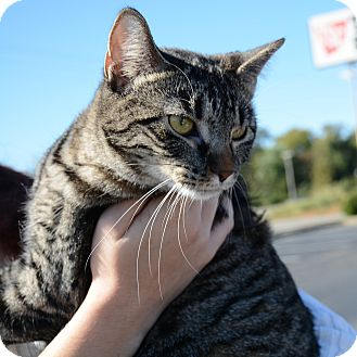 American Shorthair Cat for adoption in Hopkinsville, Kentucky - Tiger