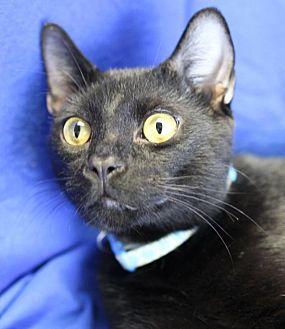 Domestic Shorthair Cat for adoption in Winston-Salem, North Carolina - Ricky
