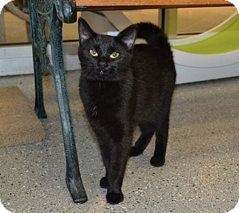 Domestic Shorthair Cat for adoption in Michigan City, Indiana - Sophie