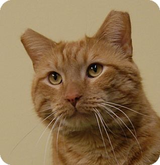 Domestic Shorthair Cat for adoption in Dundee, Michigan - Captain