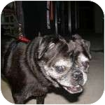Pug Dog for adoption in Windermere, Florida - Lacy and Tina