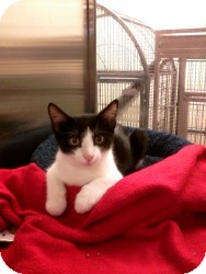 Domestic Shorthair Cat for adoption in Medford, New Jersey - Teddy Bear Ollie