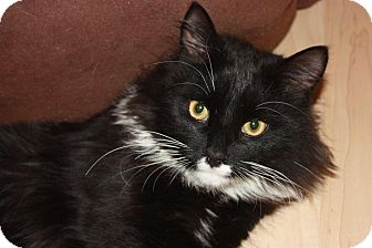 Domestic Longhair Cat for adoption in Little Falls, New Jersey - Donny (LE)