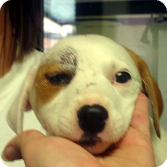 Beagle/Feist Mix Puppy for adoption in Greencastle, North Carolina - Megan