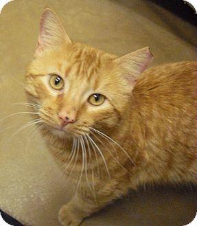 Domestic Shorthair Cat for adoption in Wickenburg, Arizona - Oscar