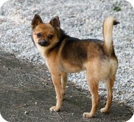 Chihuahua/Pomeranian Mix Dog for adoption in Muskegon, Michigan - Rogan
