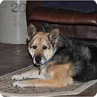 Adopt A Pet :: Ranger Boy-Mini GSD - Hamilton, MT