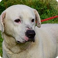 Adopt A Pet :: Atticus - New Canaan, CT