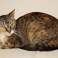 Domestic Shorthair Cat for adoption in Jackson, Mississippi - Lady