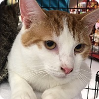 Domestic Shorthair Cat for adoption in Garland, Texas - Francine (Frankie, girl)