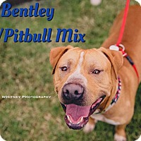 Adopt A Pet :: Bentley - Cheney, KS