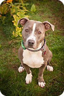 Pit Bull Terrier Dog for adoption in Portland, Oregon - Lilly (foster dog)