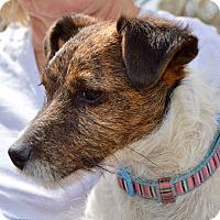 Adopt A Pet :: Bella - Allen town, PA