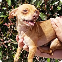 Dachshund/Chihuahua Mix Dog for adoption in Albuquerque, New Mexico - Delightful LITTLE Dobby ~ Chiweenie