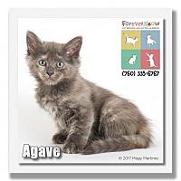 Adopt A Pet :: Agave - Palm Desert, CA