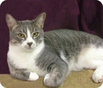 Domestic Shorthair Cat for adoption in Ridgecrest, California - Bogart