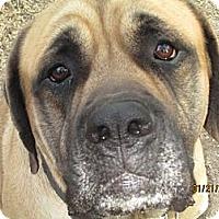 Adopt A Pet :: Atticus - Pointblank, TX