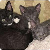 Adopt A Pet :: Isis, Ramseys and Riley - Riverside, RI