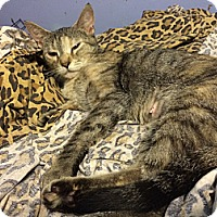 Domestic Shorthair Cat for adoption in Pittstown, New Jersey - Sophie
