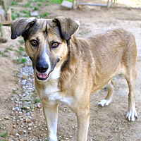 Shepherd (Unknown Type) Mix Dog for adoption in Tanner, Alabama - Martin Ray