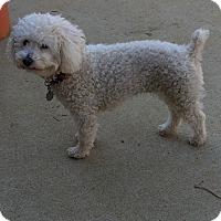 Adopt A Pet :: Precious - Alpharetta, GA