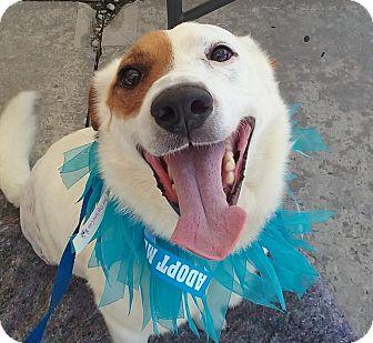 Labrador Retriever/Terrier (Unknown Type, Medium) Mix Dog for adoption in Huntsville, Tennessee - Ace