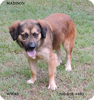 Shepherd (Unknown Type)/Chow Chow Mix Dog for adoption in Washington, Georgia - Maddison