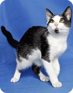 Domestic Shorthair Kitten for adoption in Gloucester, Virginia - BUBBLE GUM