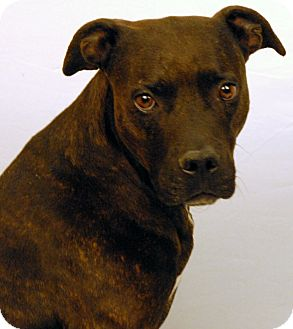 Pit Bull Terrier Mix Dog for adoption in Newland, North Carolina - Bella