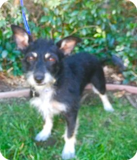 Terrier (Unknown Type, Small)/Schnauzer (Miniature) Mix Dog for adoption in Corona, California - LULU