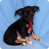Adopt A Pet :: Duck - Kerrville, TX