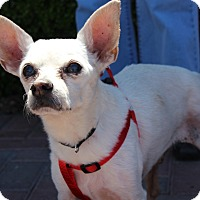 Adopt A Pet :: SALVADOR - Las Vegas, NV