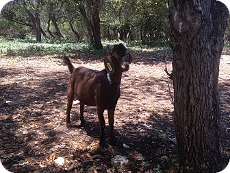 Goat for adoption in Austin, Texas - Rusty