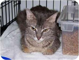 Domestic Shorthair Cat for adoption in Syracuse, New York - Emma