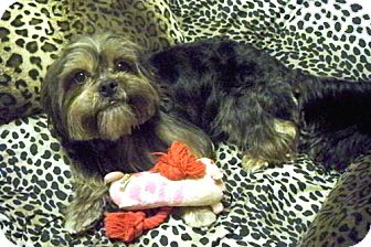 Lhasa Apso Mix Dog for adoption in Los Angeles, California - FILMORE
