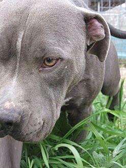 Pit Bull Terrier Dog for adoption in Somerville, Texas - Nico