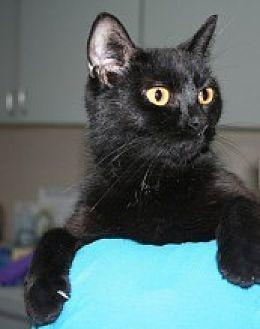 Domestic Shorthair Cat for adoption in Marietta, Georgia - Savannah