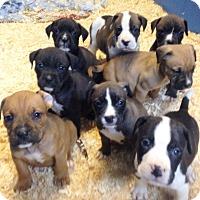 Adopt A Pet :: THANKSGIVING LITTER - Pompton Lakes, NJ