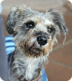 Schnauzer (Miniature)/Silky Terrier Mix Dog for adoption in Boulder, Colorado - Jonathan