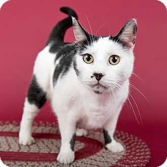 Domestic Shorthair Cat for adoption in Wilmington, Delaware - Lincoln