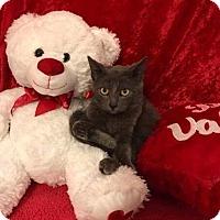 Adopt A Pet :: Ashton - Arlington/Ft Worth, TX