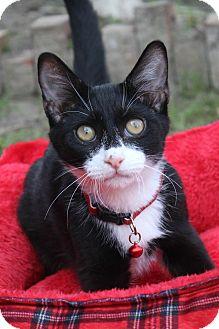 Domestic Shorthair Kitten for adoption in Ocean Springs, Mississippi - Zuzen